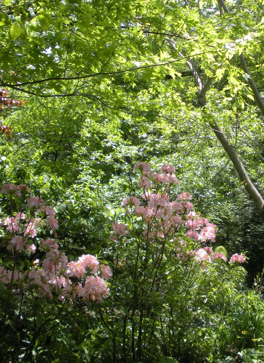 Photo 8 - Rhododendrons growing in a woodland garden setting.