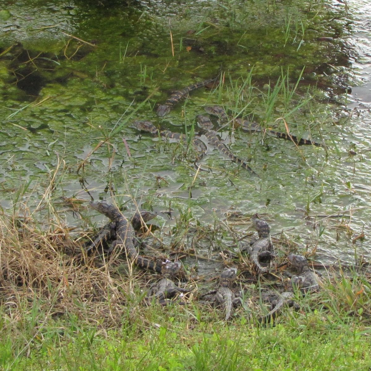 Look closely to see all the baby alligators in the mud and moss.
