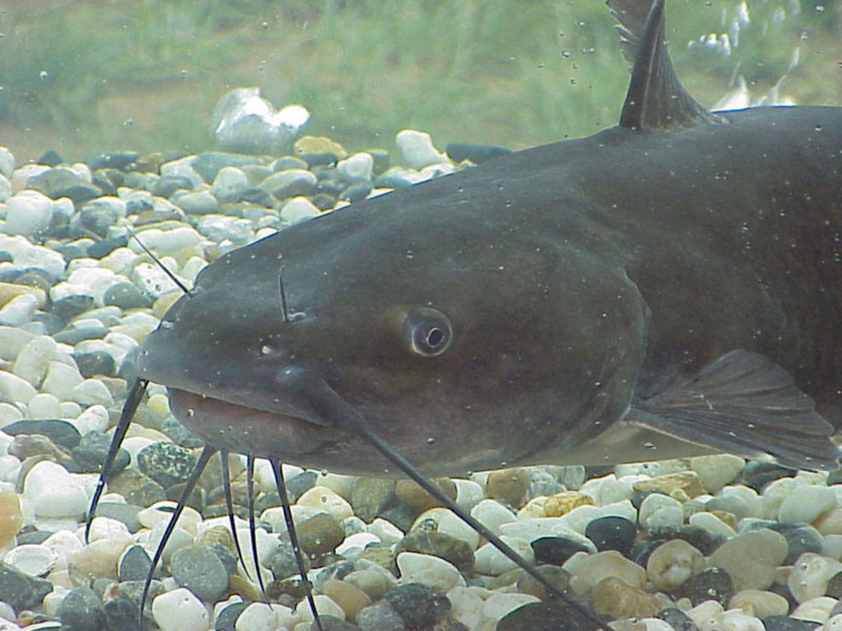 Channel Catfish like the one in the photo are excellent tasting catfish. I like to catch them and make them into delicious filets.