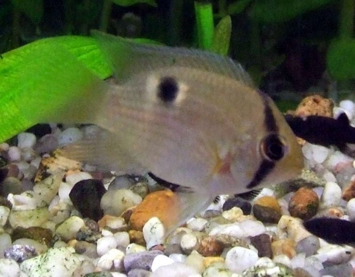 Keyhole Cichlids How To Breed This Popular Tropical Fish