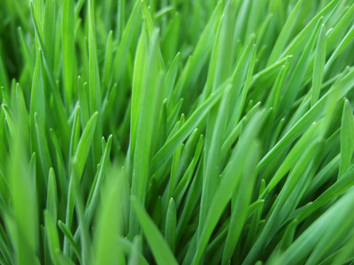 Health Benefits of Wheatgrass and Wheatgrass Juice