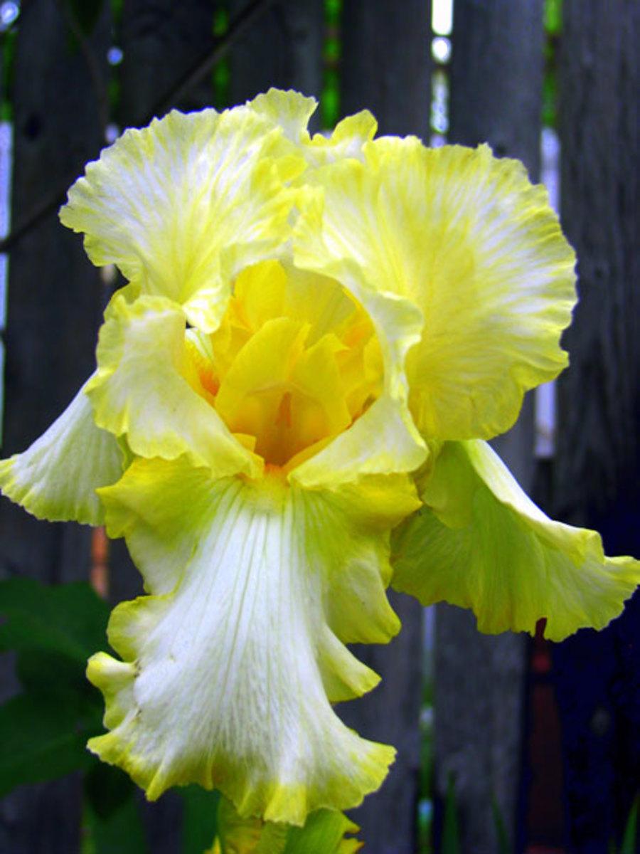 yellow variety of Iris