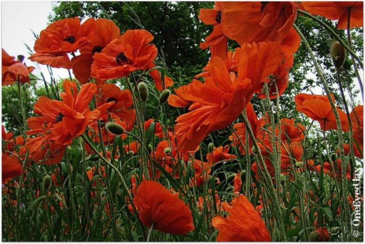 How to Grow Red Field Poppies