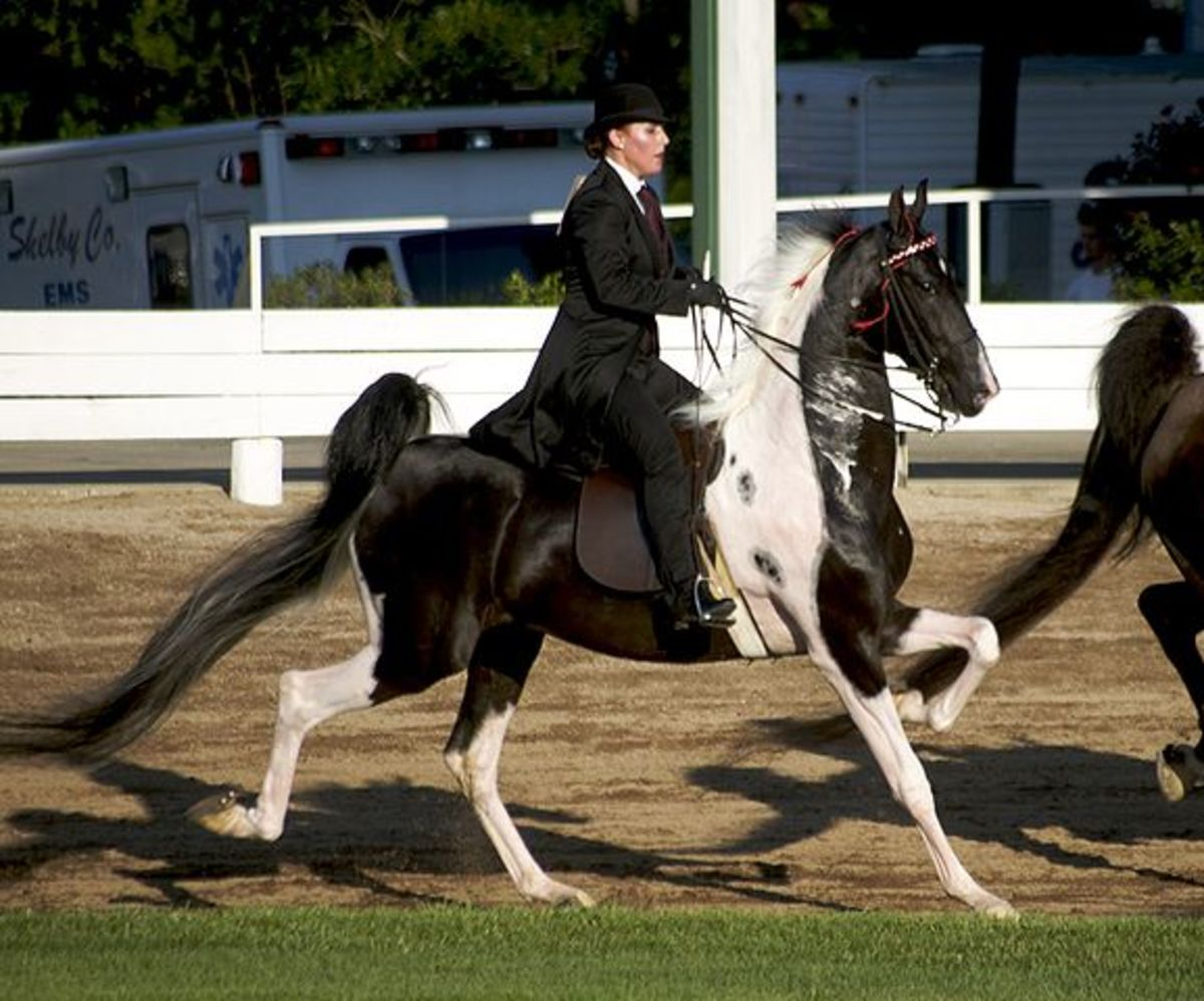 High-stepping, showy gaits are a signature trait of American Saddlebred Horses