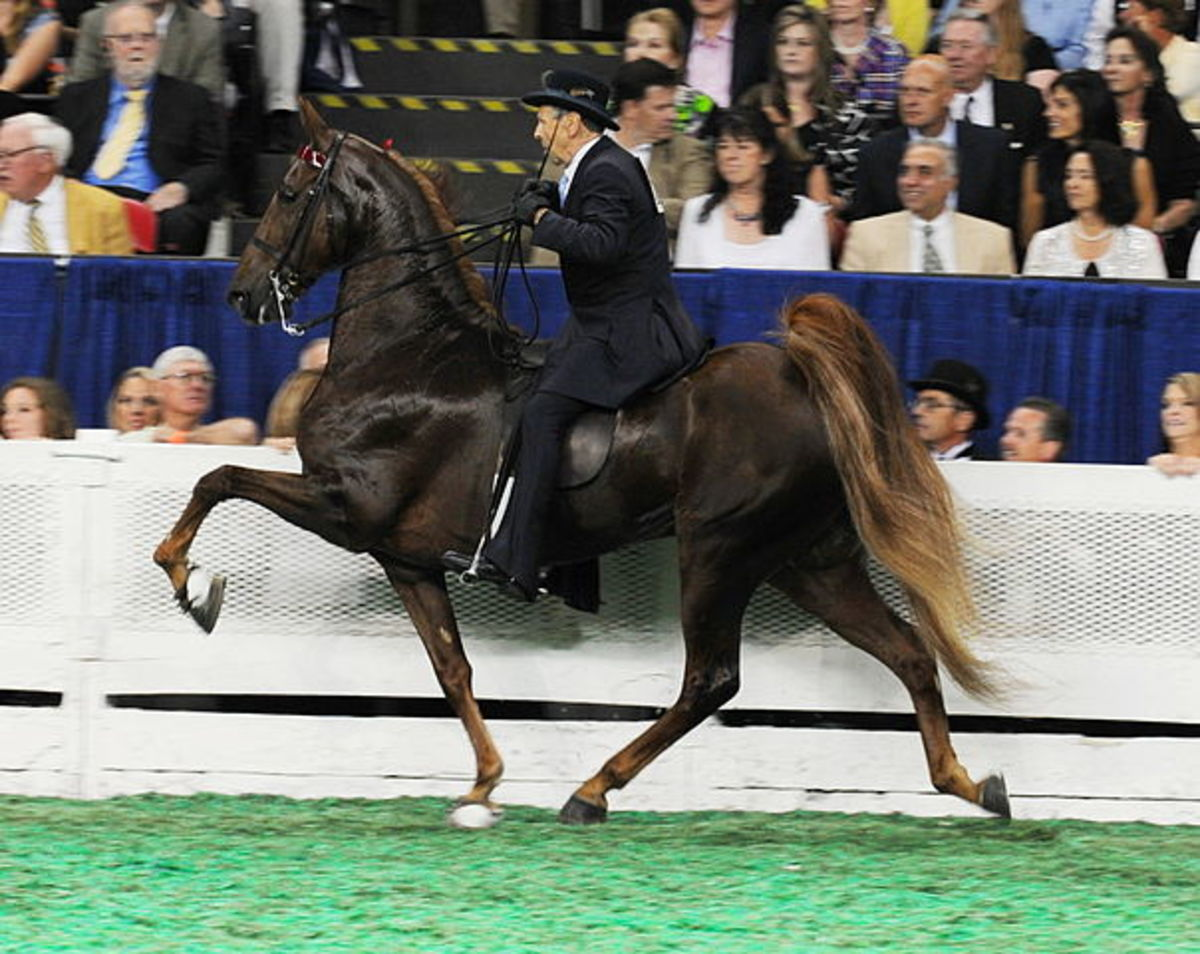 Three time World Champion Courageous Lord performing the rack - one of the five gaits of American Saddlebred Horses