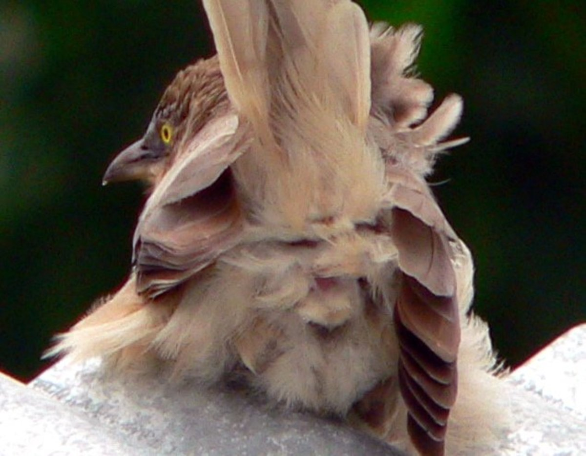 This is the same picture except that it is zoomed in to provide a better view of the cloaca of the babbler