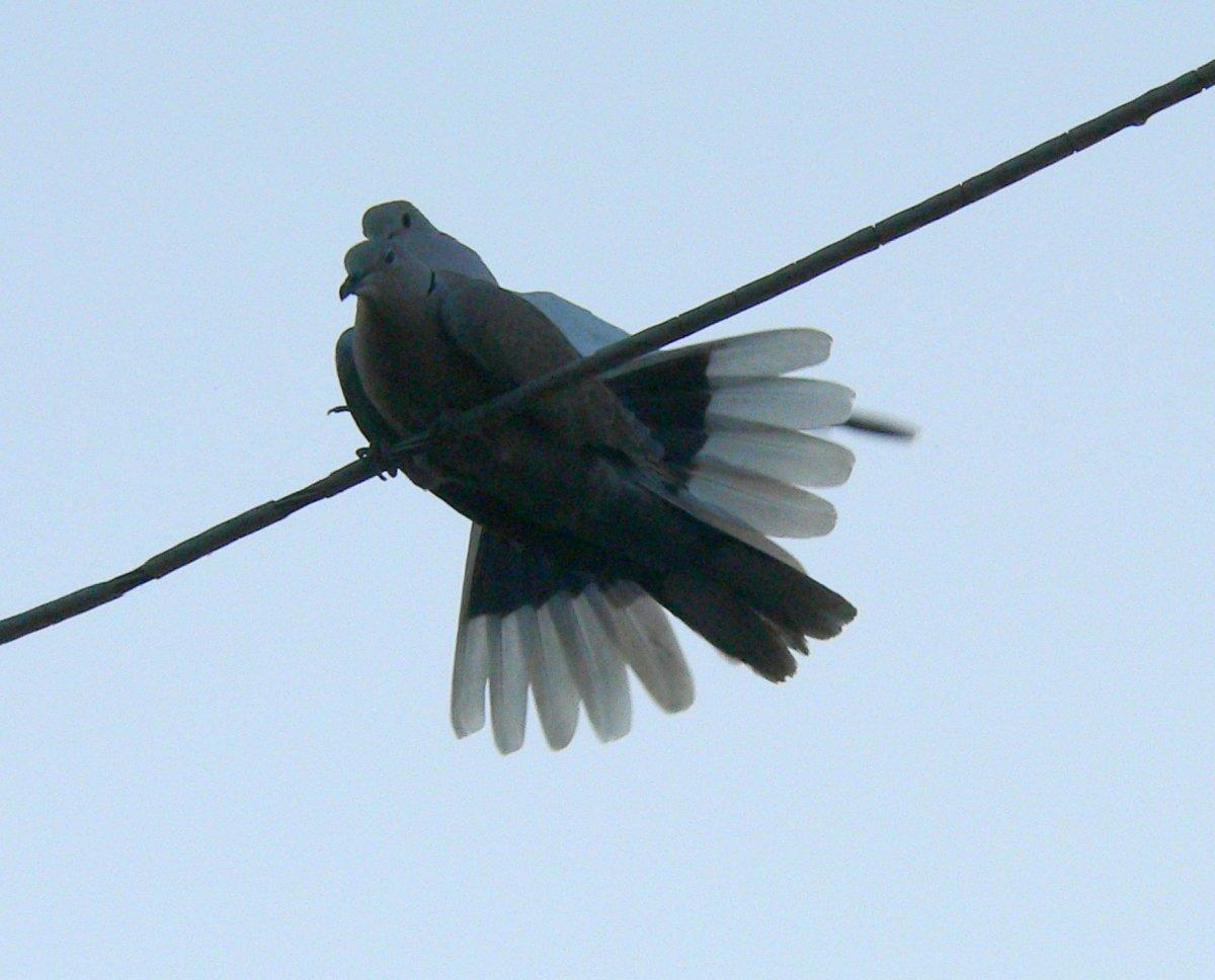 The birds mating, finally!