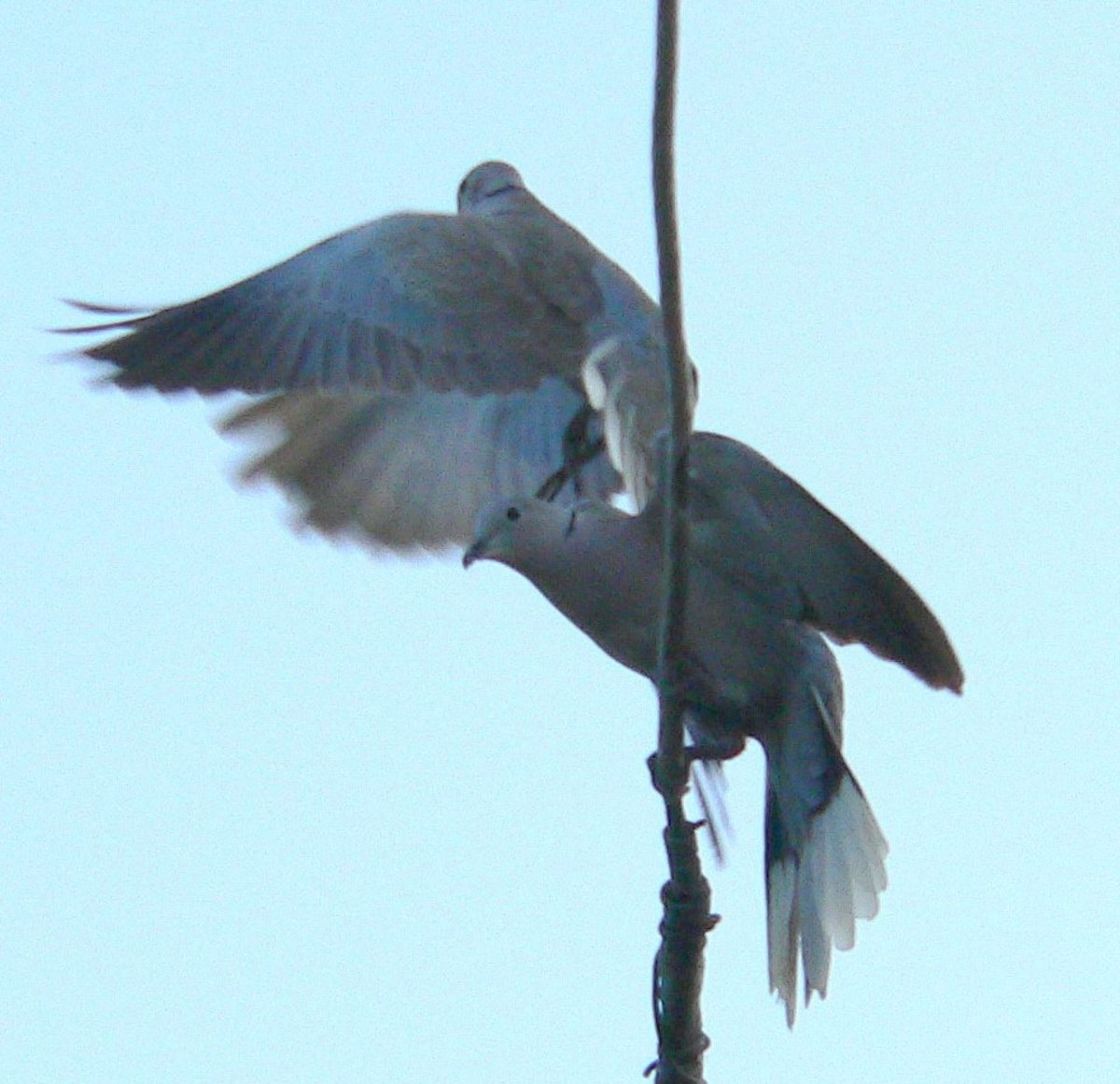 Another quick tussle before the birds mate