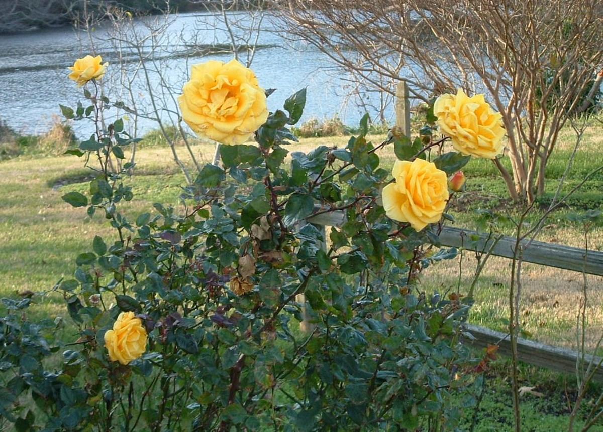 Roses blooming in winter.