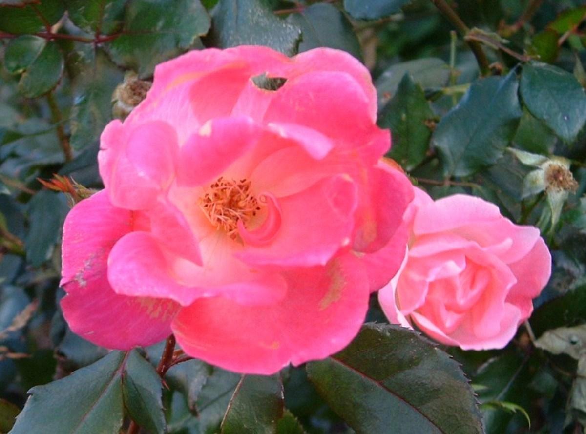 Even a scruffy rosebush left untended is beautiful.