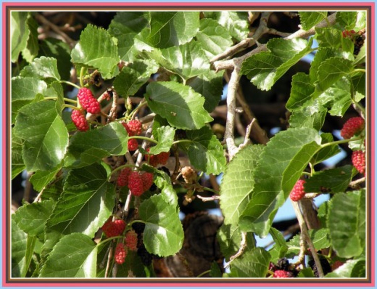 Mulberry tree leaves and fruits