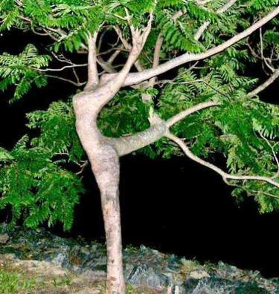 """The """"Ballerina Tree."""""""