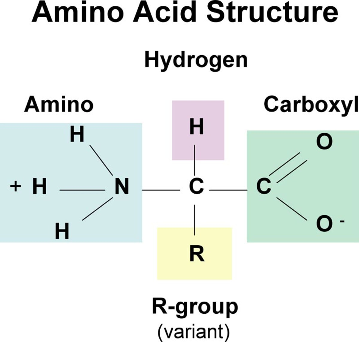 Proteins are polymers made up of strings of amino acid joined by peptide bonds