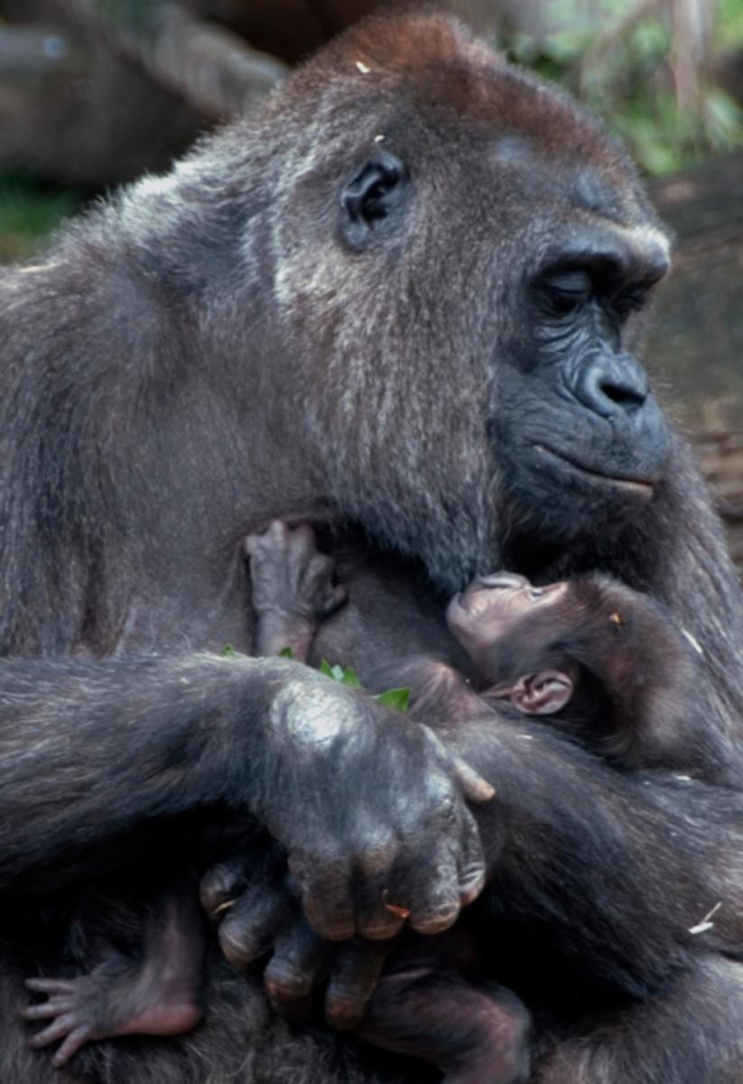 Mom Gorilla