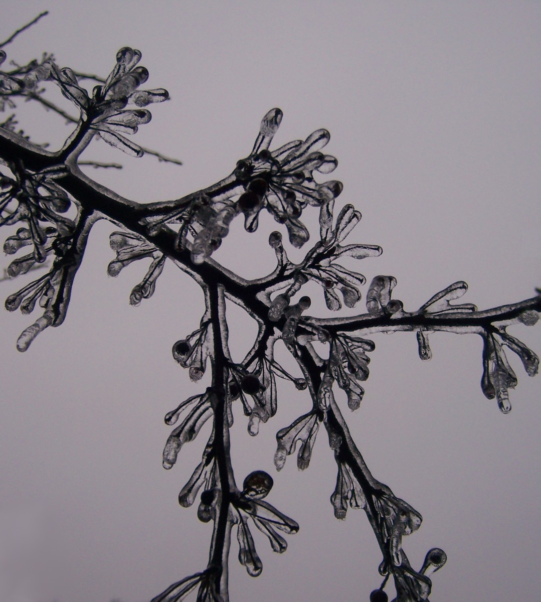 Ice builds up on an evergreen branch.
