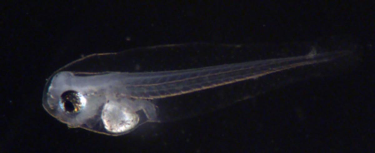 Queen triggerfish larvae