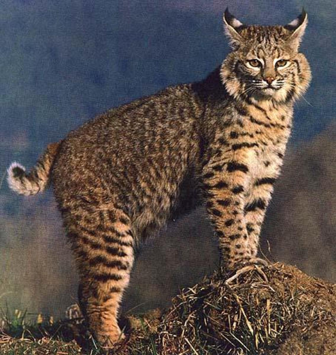 The Small But Powerful Bobcat