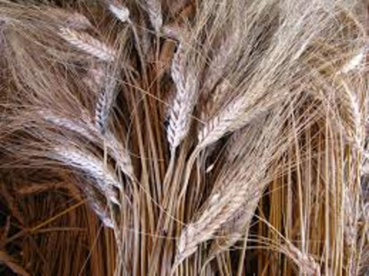 After cutting and collecting the wheat bundles we would trash them one way or another and try to separate the wheat from the chaffs.