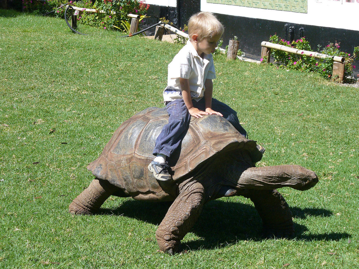 Aldabra Giant Tortoise, Mount Kenya Wildlife Conservancy where children rides on tortoises. Image Credit: Chuck @ UPDmedia.com via Wikimedia Commons