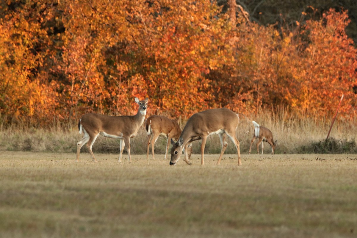 White-tail Deer Grazing in Fall