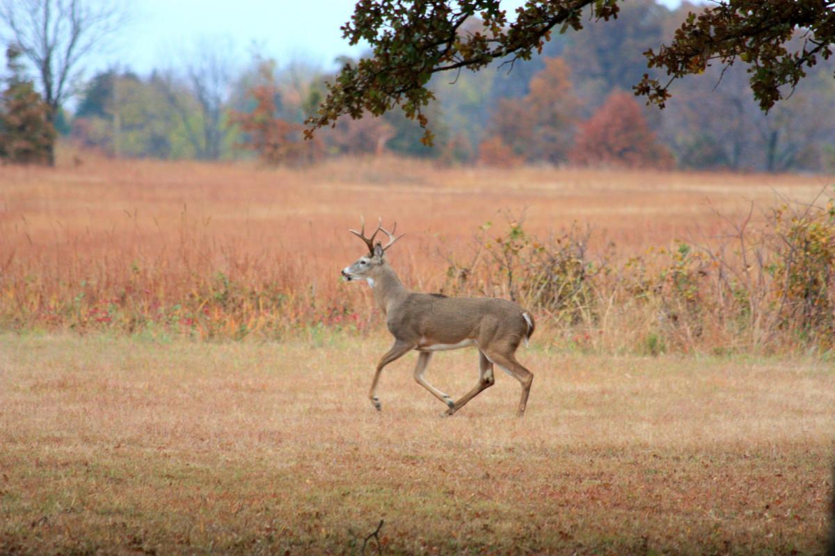 White-tail buck running across field in fall.