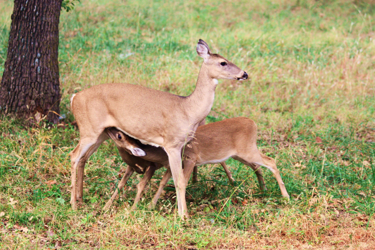 White-tail doe, nursing her twin fawns.