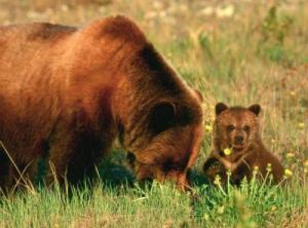 The Grizzly Bear  or Silvertip Bear