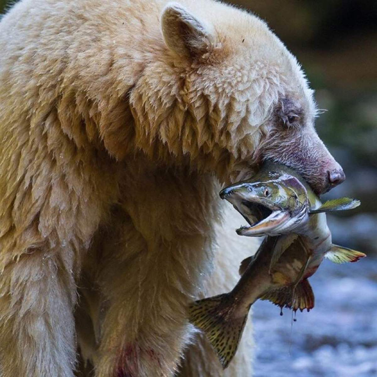 Grizzly bears love to eat fish, and the more protein in one's diet, the larger it can grow.