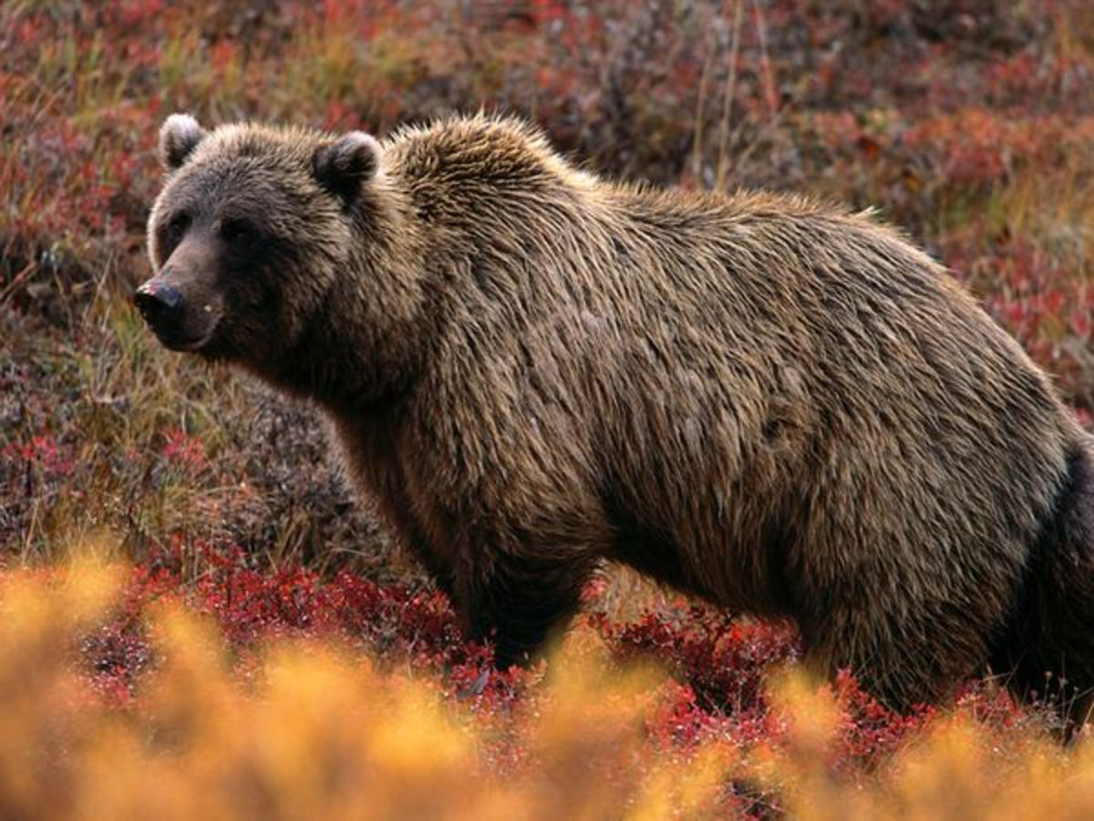 http://animals.nationalgeographic.com/animals/mammals/grizzly-bear/