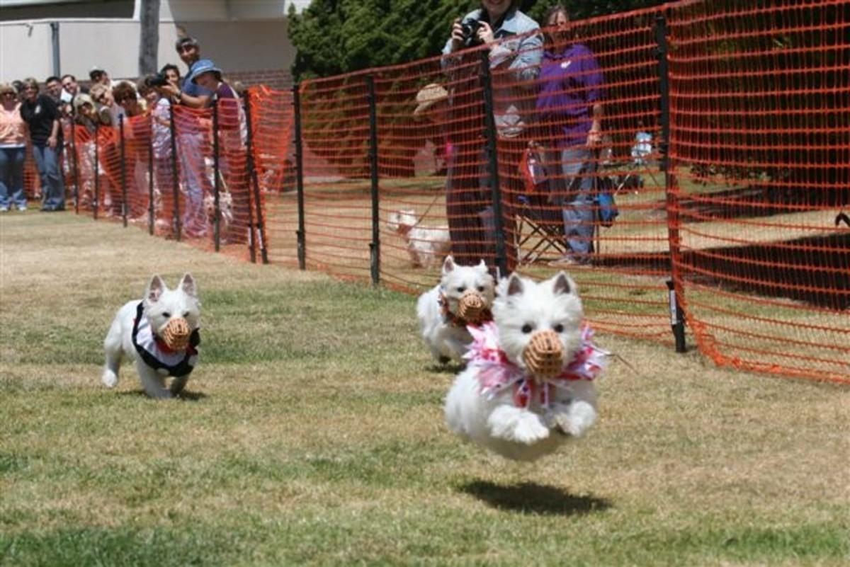 WESTIE DOG RACE