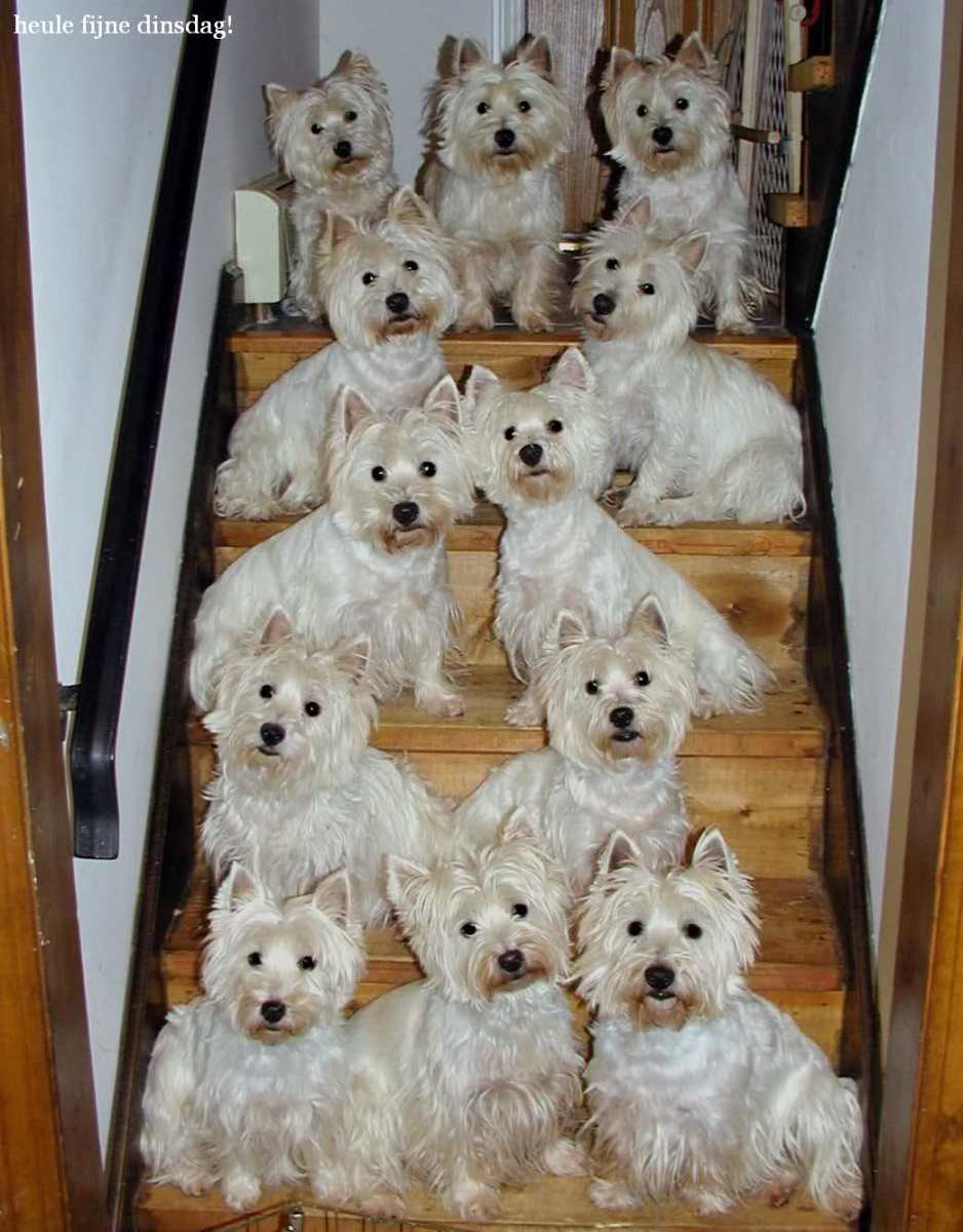 West Highland White Terriers: Westies | HubPages