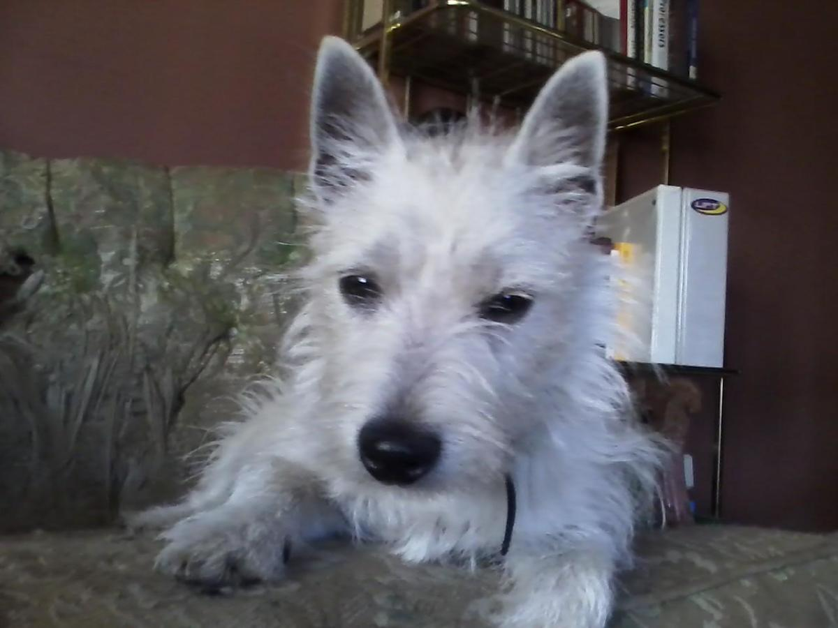 MY WEST HIGHLAND WHITE TERRIER PUP CAILIN (GAELIC FOR GIRL OR LASSIE)