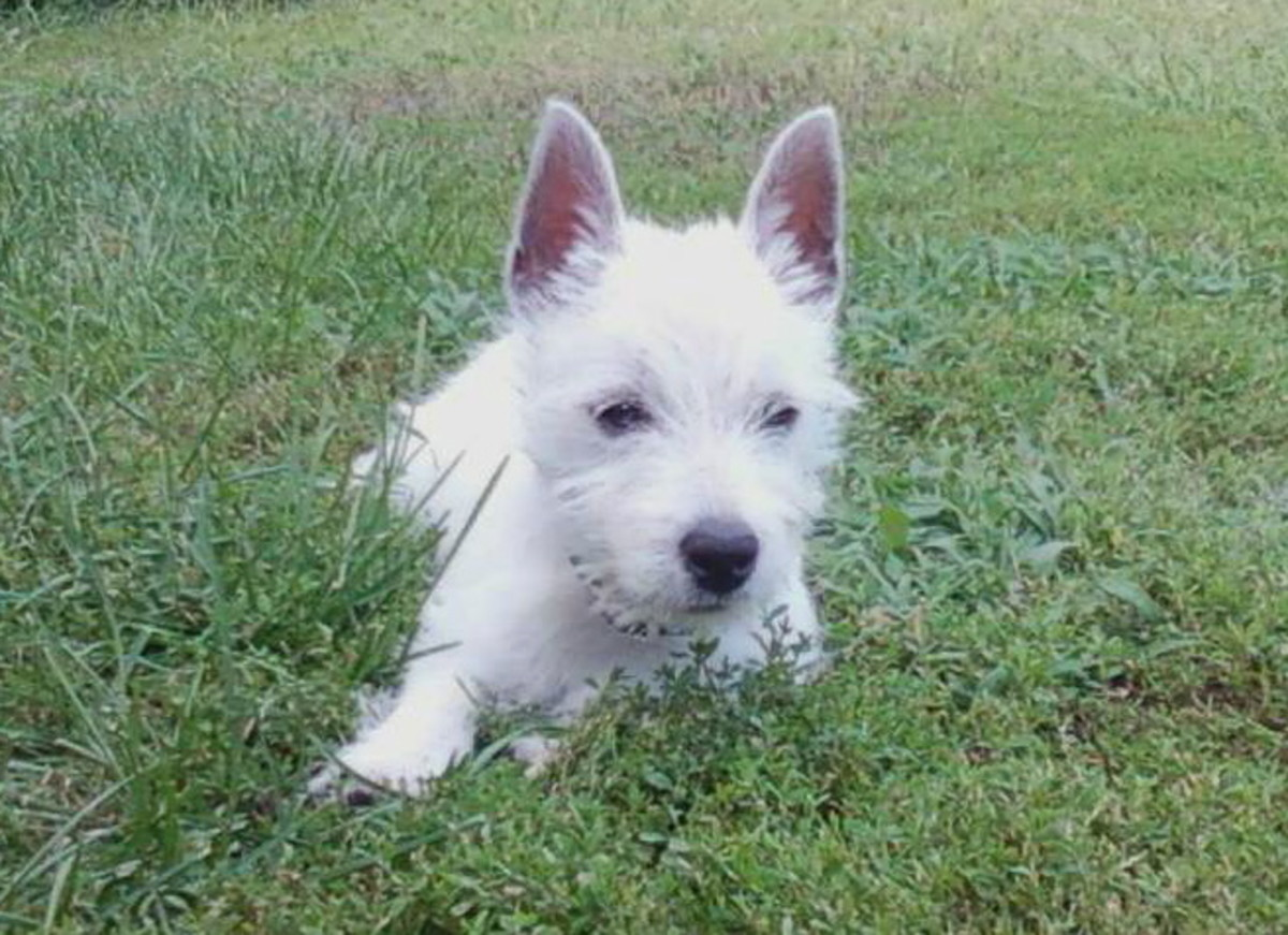 West Highland White Terriers: Westies