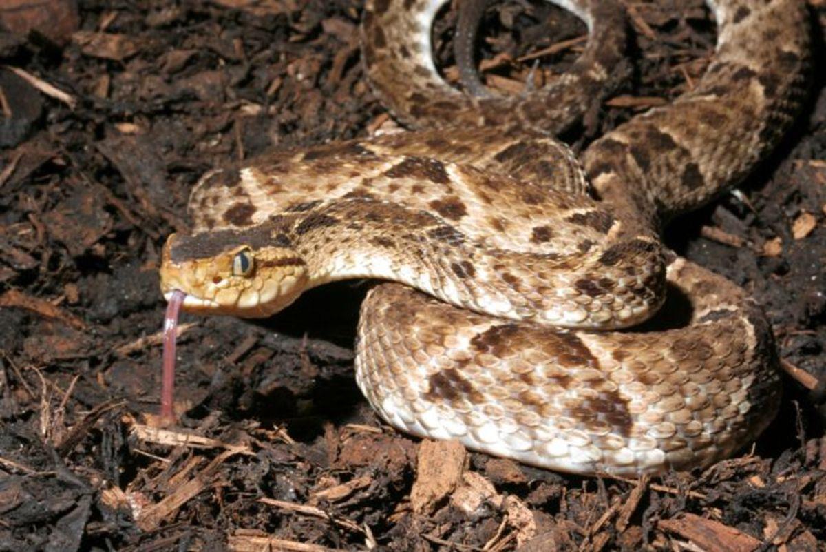 Bothrops Asper (the pit viper known as terciopelo or fer-de-lance)