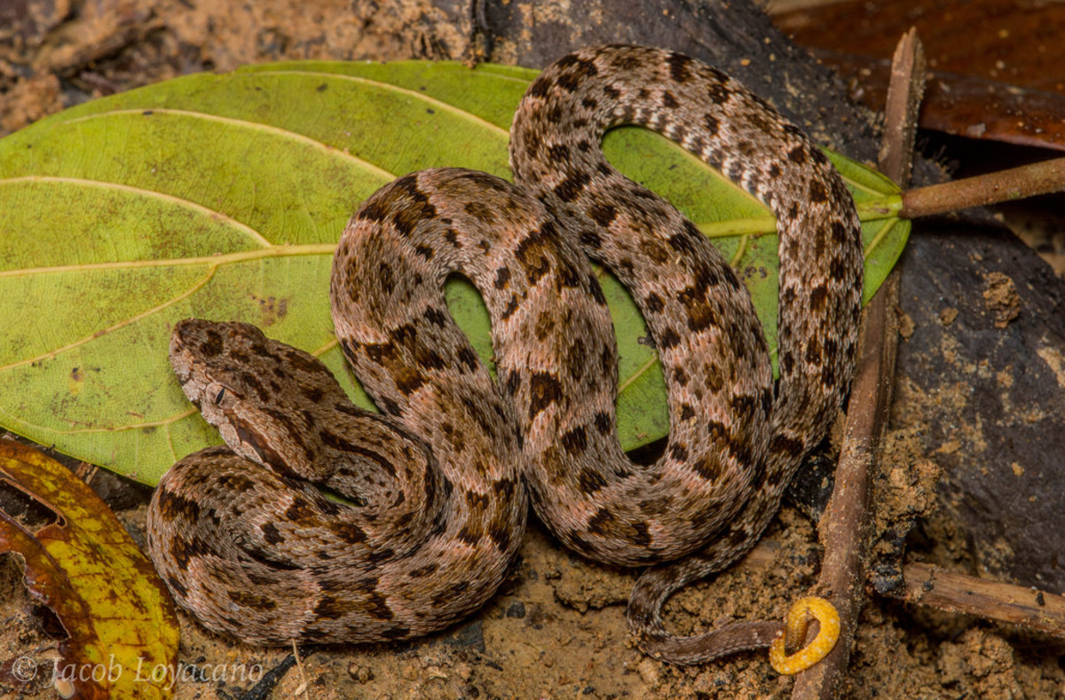 Fer de Lance (Bothrops atrox). In rainforest in the Ecuadorian Amazon