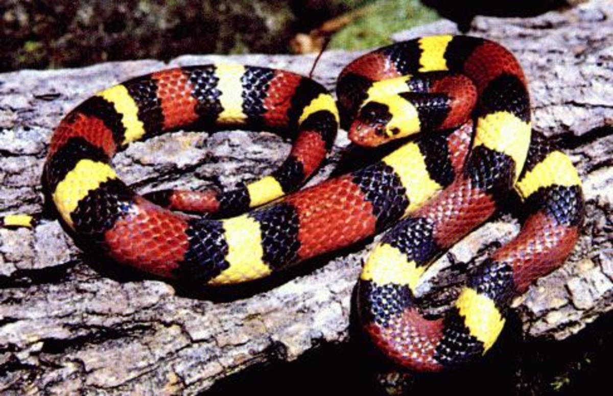 the-coral-snake-the-most-deadly-snake-in-the-united-states