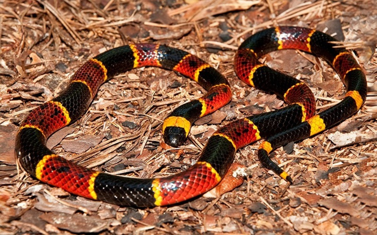 The Coral Snake - the Most Deadly Snake in the United States