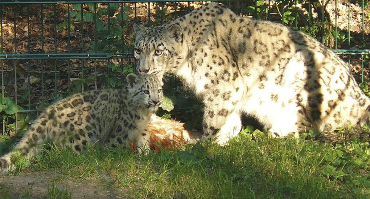 Snow leopard with cub.The endangered snow leopard is very protective of its cubs and can become very aggressive when its cubs are threatened or attacked.