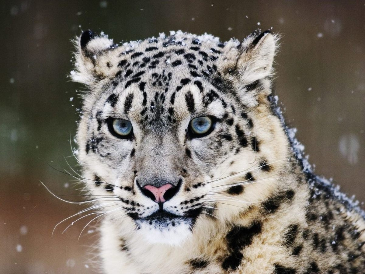 Fighting for Survival: The Endangered Snow Leopard