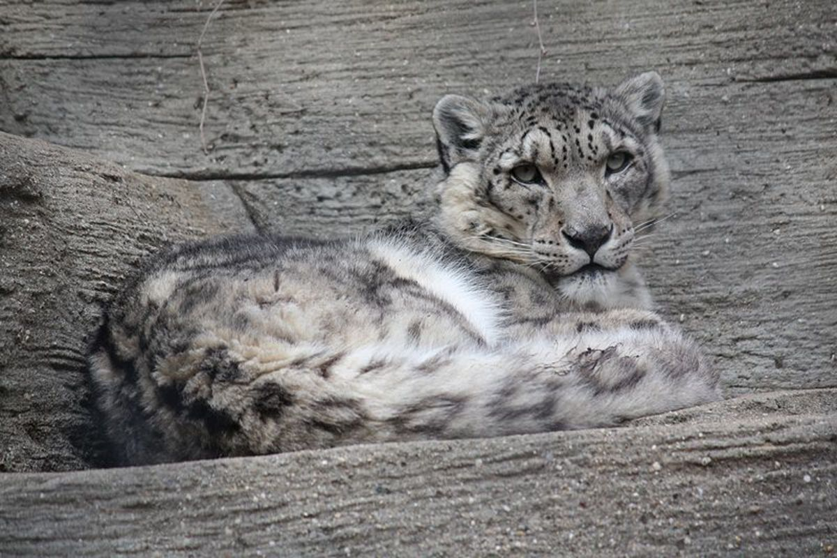 Snow leopard resting on a rocky ledge.
