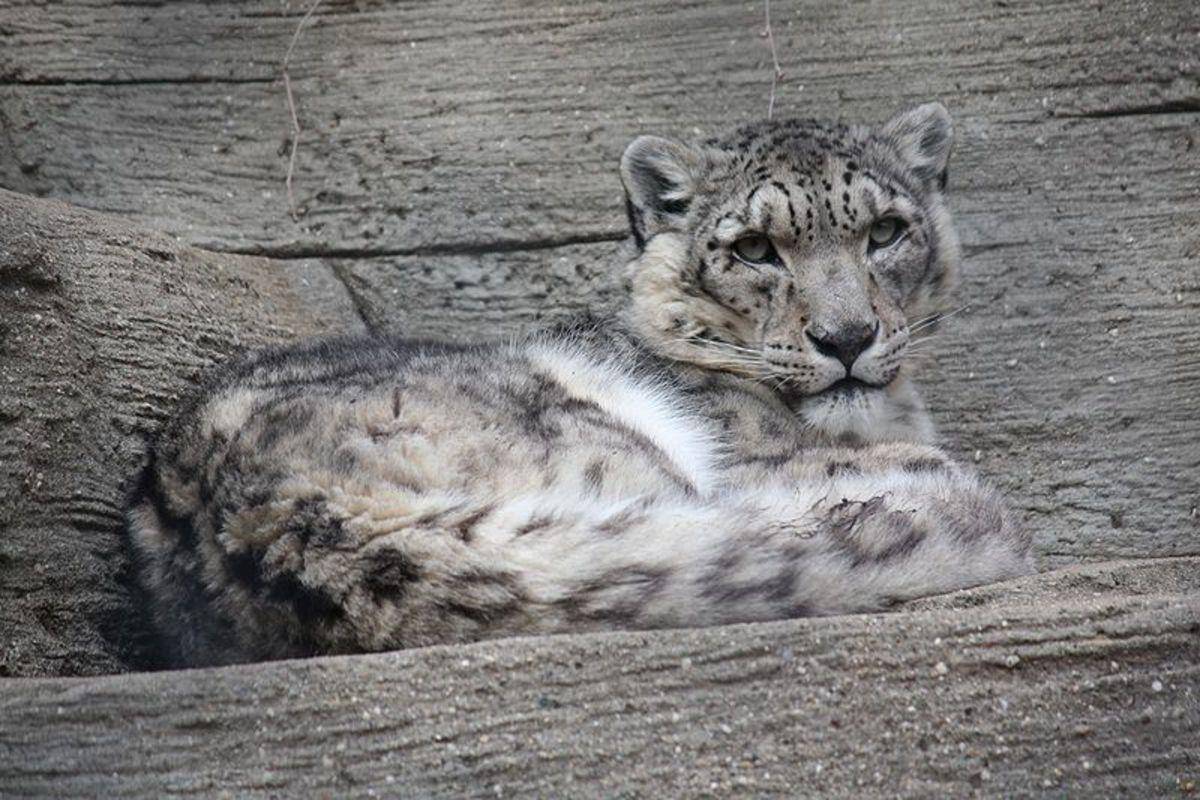 Snow leopard resting on a rocky ledge.