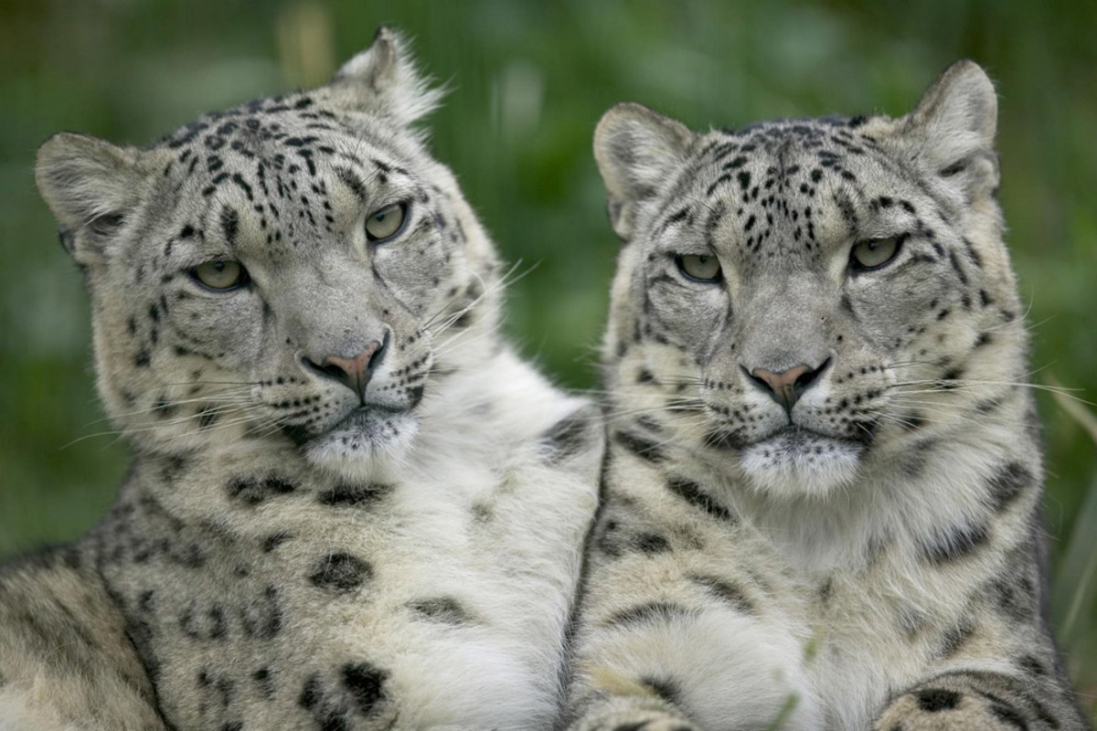 Two Snow Leopards. Being a solitary animal, the endangered snow leopard only socializes during the mating season, which begins early in the year and ends in mid-March.