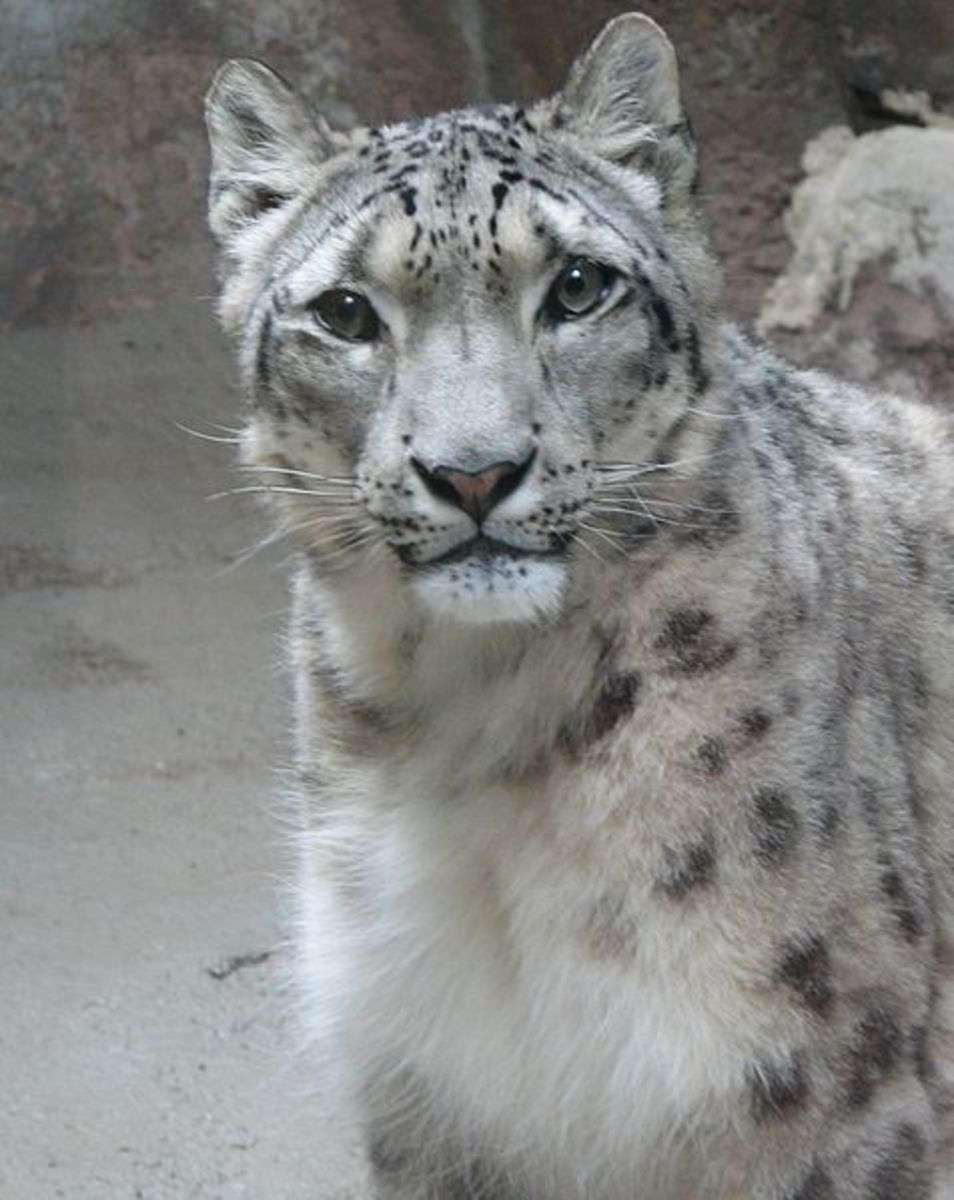 The Endangered Snow Leopard: Innocent eyes...