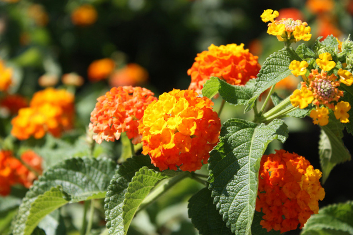 Orange Lantana