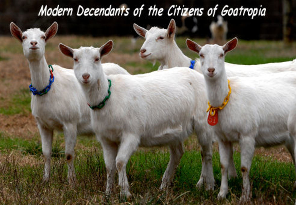 These goats don't like rain - *See composite component image citation