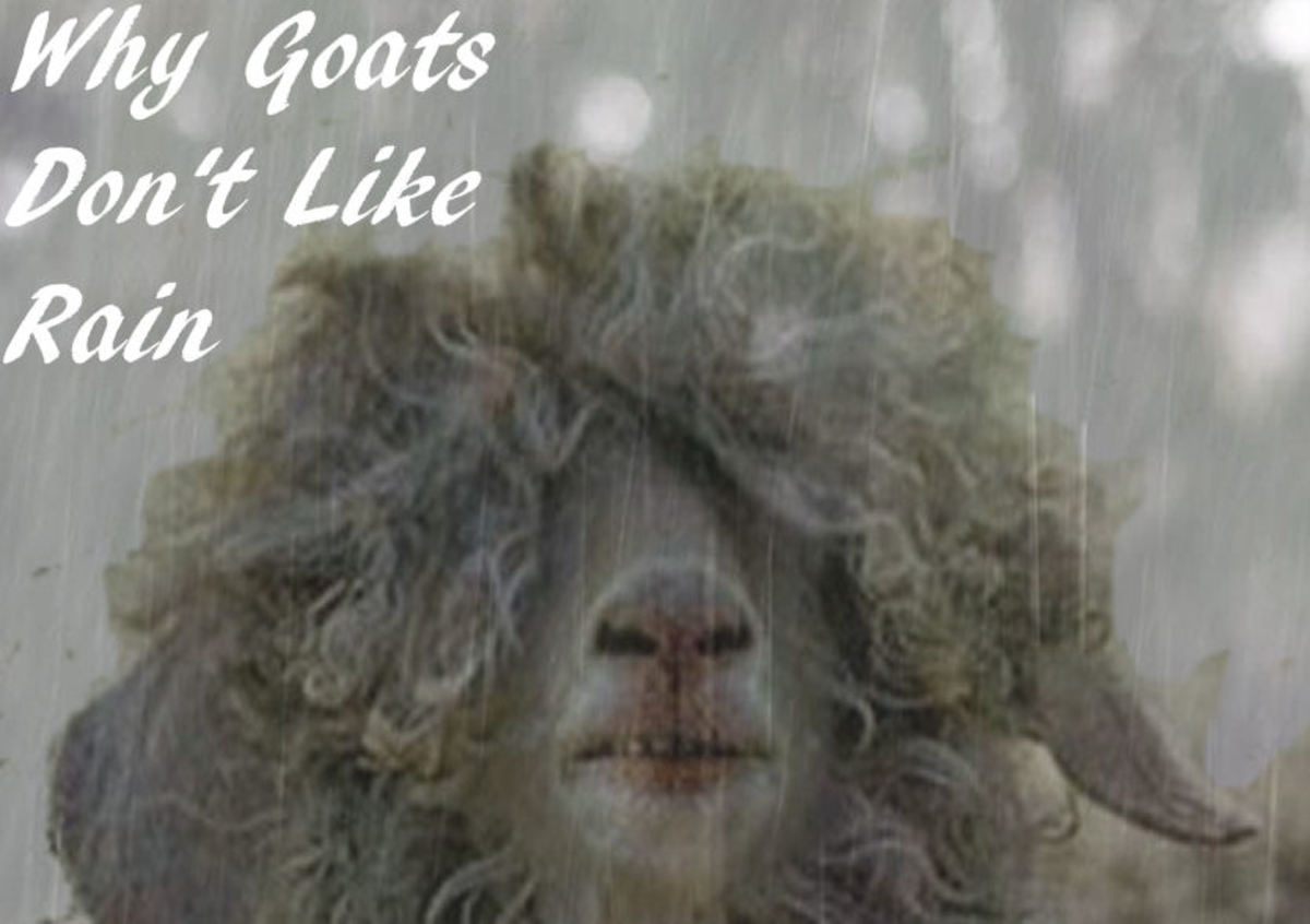 Why Goats Don't Like Rain