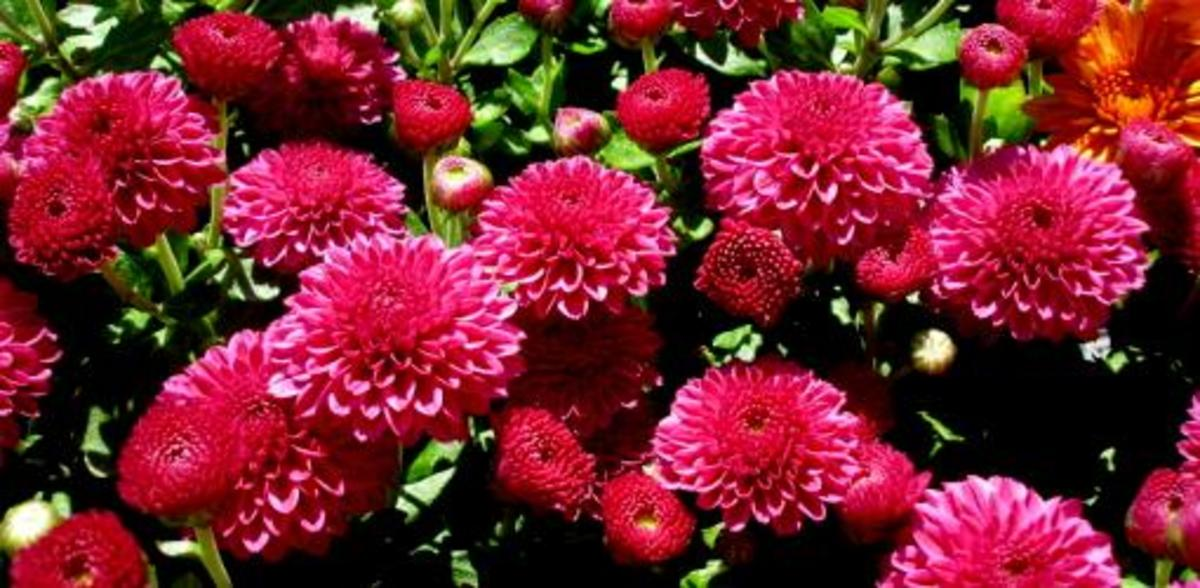 How To Successfully Grow Chrysanthemums Hubpages