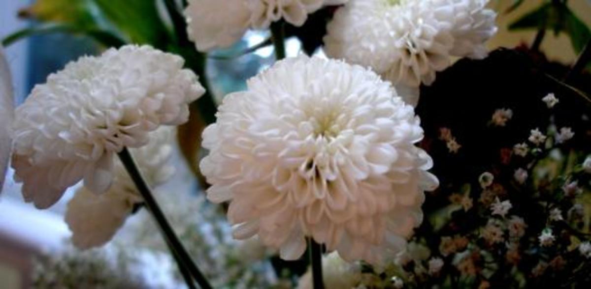 plantgrowchrysanthemums