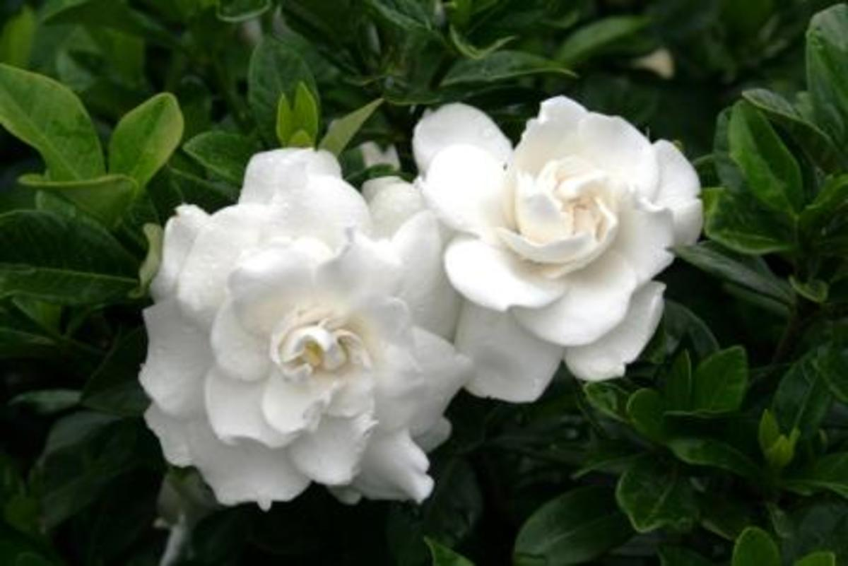 Growing a Healthy Gardenia: Outdoors or Indoors