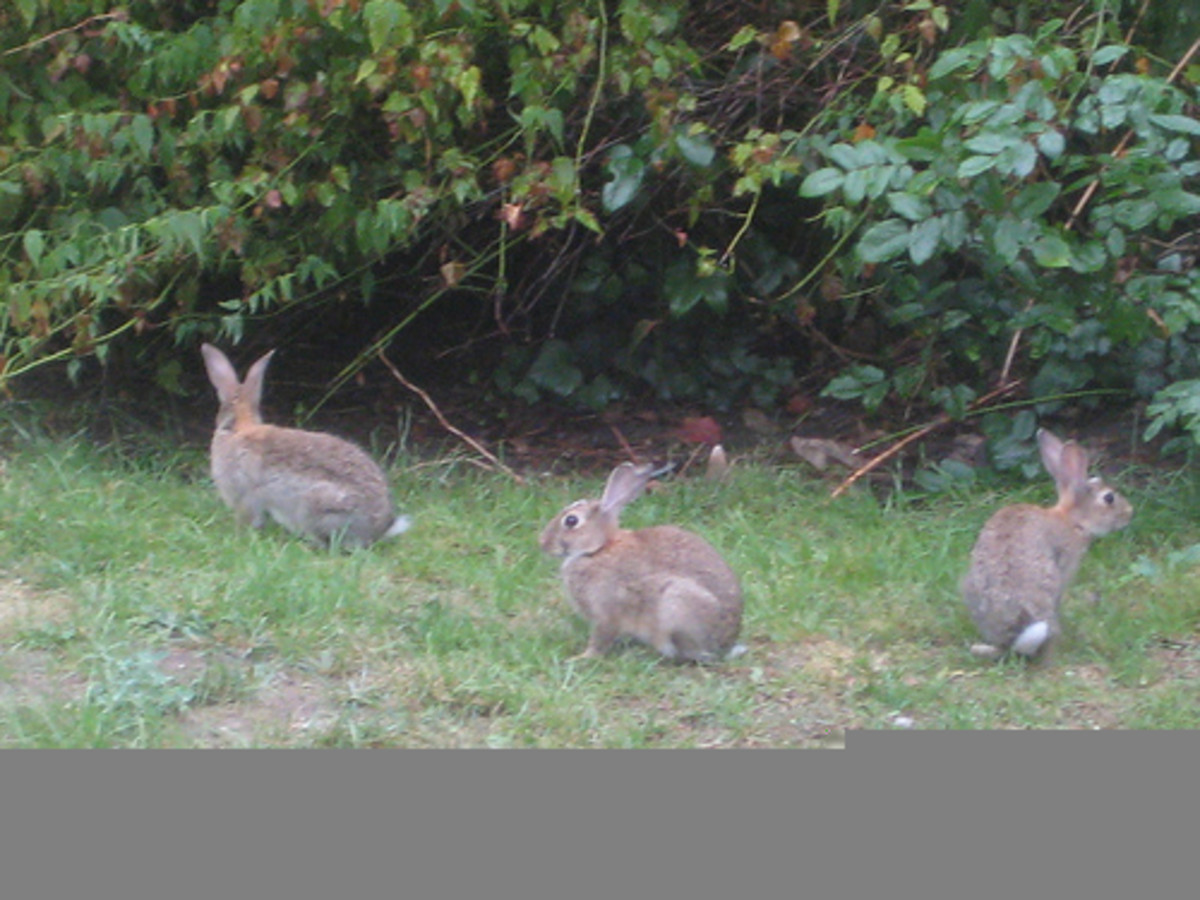 Shrubs and brush like this invite rabbits to nest and build homes.